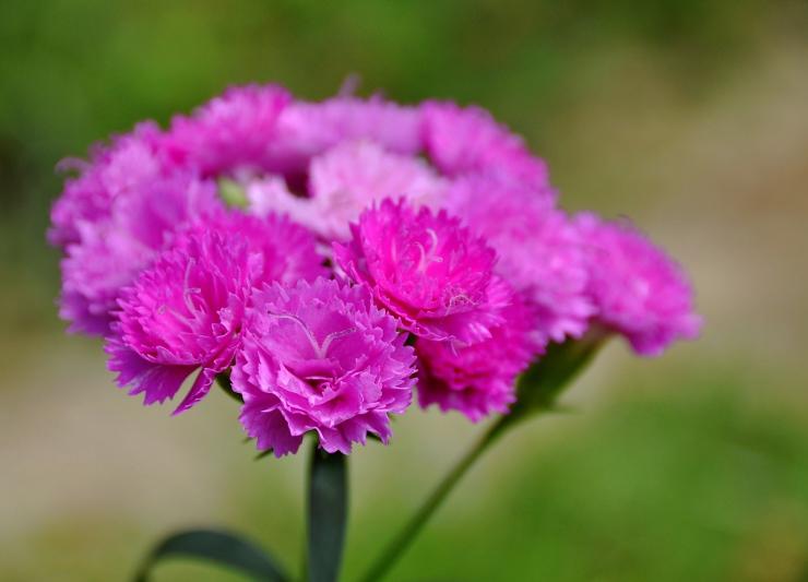 «Dianthus Warden»