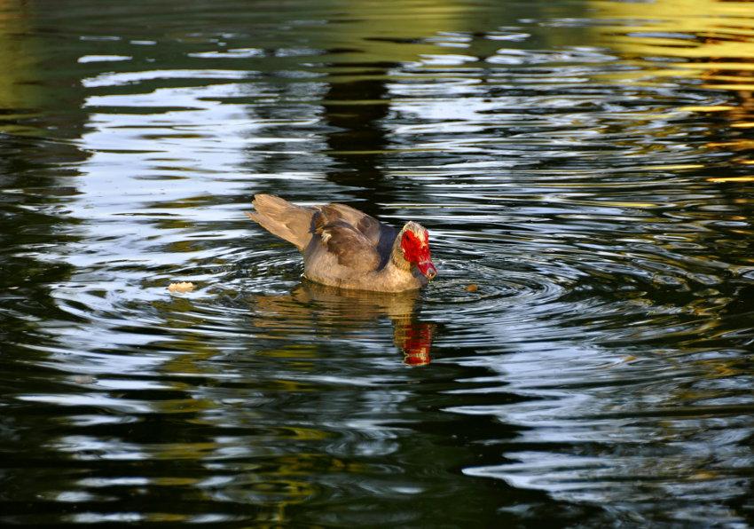 O pato e a morte