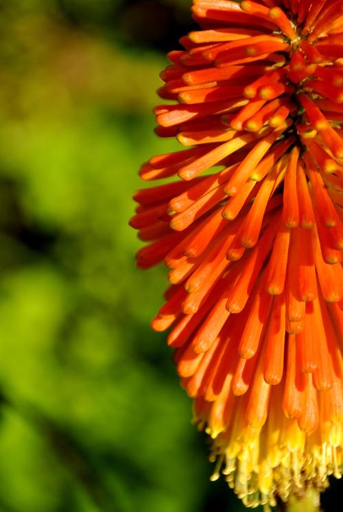 Flor de fogo
