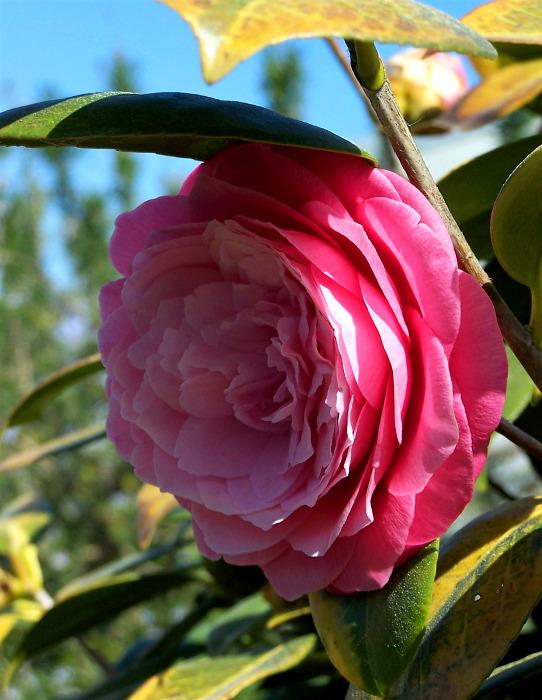 Flor de Inverno