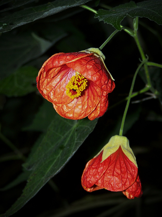 «Abutilon Striatum»